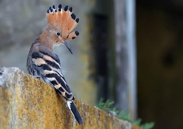 Удод-птица-Описание-и-особенности-удода-16