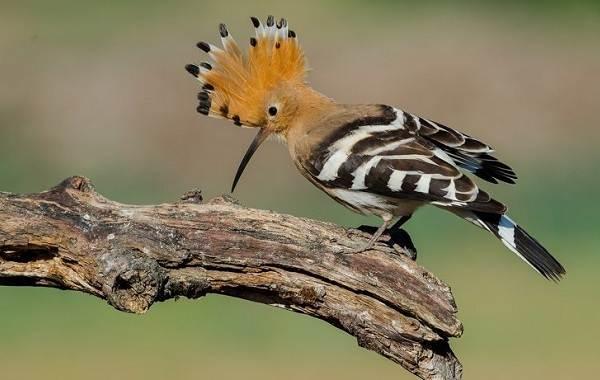 Удод-птица-Описание-и-особенности-удода-2