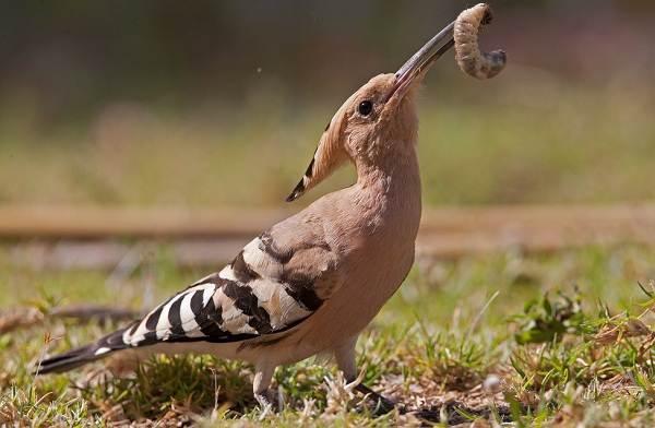 Удод-птица-Описание-и-особенности-удода-3