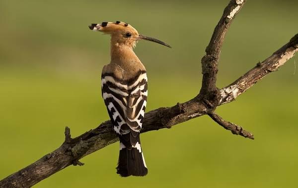 Удод-птица-Описание-и-особенности-удода-4