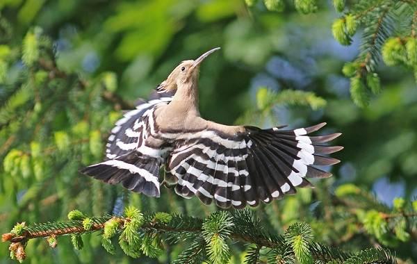 Удод-птица-Описание-и-особенности-удода-6