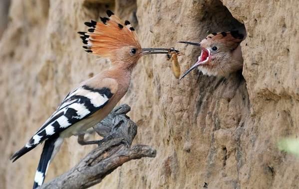 Удод-птица-Описание-и-особенности-удода-7