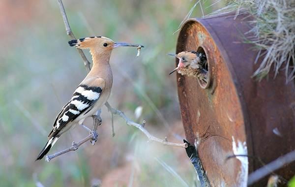 Удод-птица-Описание-и-особенности-удода-8