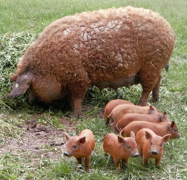 Венгерская-мангалица-свинья-Описание-особенности-разведение-и-уход-за-венгерской-мангалицей-1