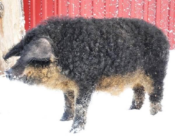 Венгерская-мангалица-свинья-Описание-особенности-разведение-и-уход-за-венгерской-мангалицей-2
