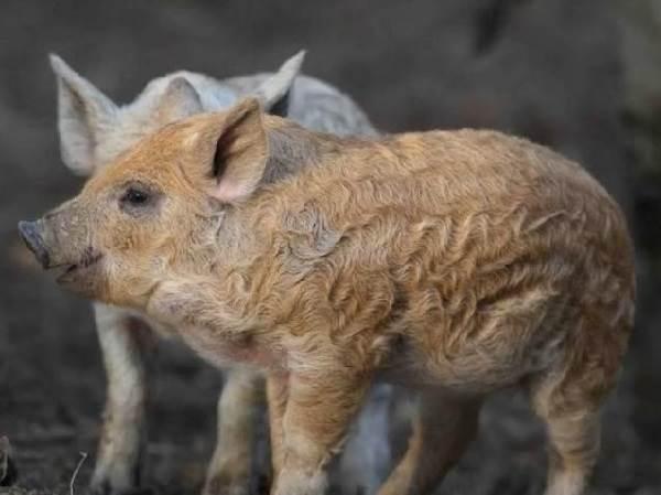 Венгерская-мангалица-свинья-Описание-особенности-разведение-и-уход-за-венгерской-мангалицей-3