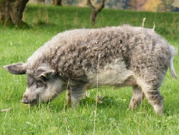 Венгерская-мангалица-свинья-Описание-особенности-разведение-и-уход-за-венгерской-мангалицей-4