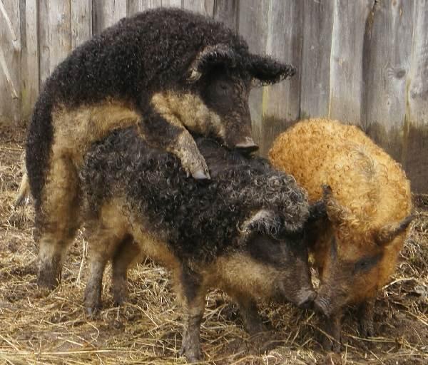 Венгерская-мангалица-свинья-Описание-особенности-разведение-и-уход-за-венгерской-мангалицей-6