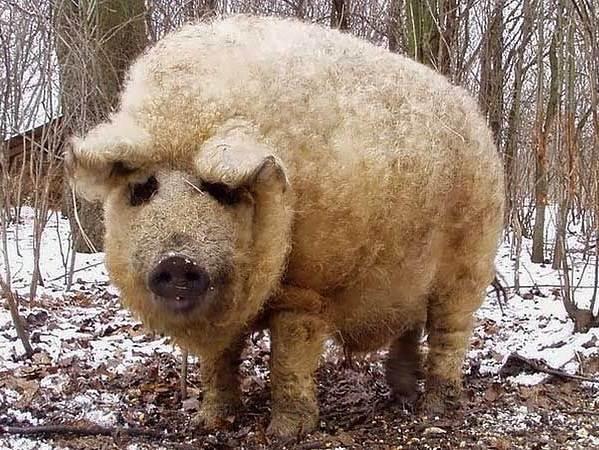 Венгерская-мангалица-свинья-Описание-особенности-разведение-и-уход-за-венгерской-мангалицей-7