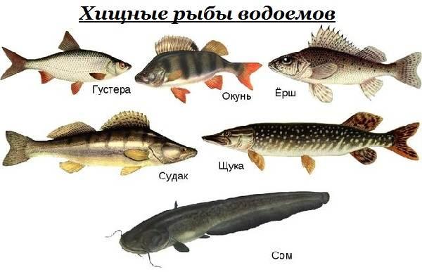 Хищные-рыбы-Названия-описания-и-особенности-хищных-рыб-1
