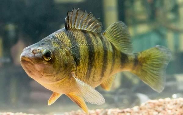 Хищные-рыбы-Названия-описания-и-особенности-хищных-рыб-11