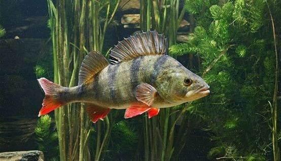 Хищные-рыбы-Названия-описания-и-особенности-хищных-рыб-12