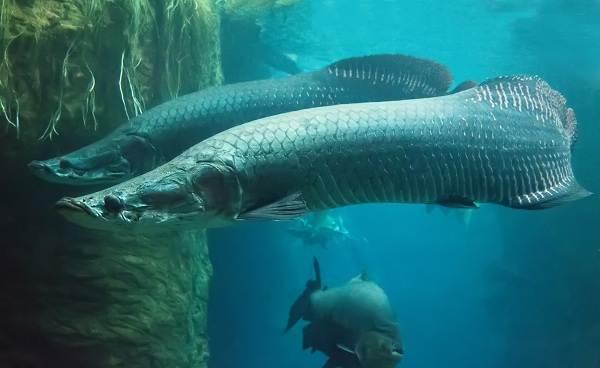 Хищные-рыбы-Названия-описания-и-особенности-хищных-рыб-13
