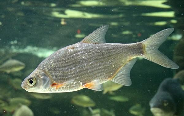 Хищные-рыбы-Названия-описания-и-особенности-хищных-рыб-15