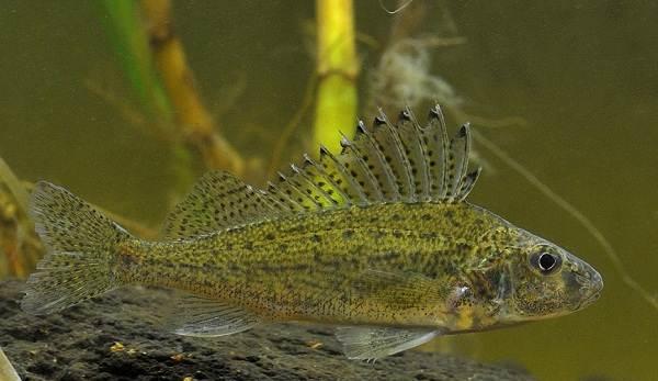 Хищные-рыбы-Названия-описания-и-особенности-хищных-рыб-16