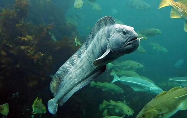 Хищные-рыбы-Названия-описания-и-особенности-хищных-рыб-33