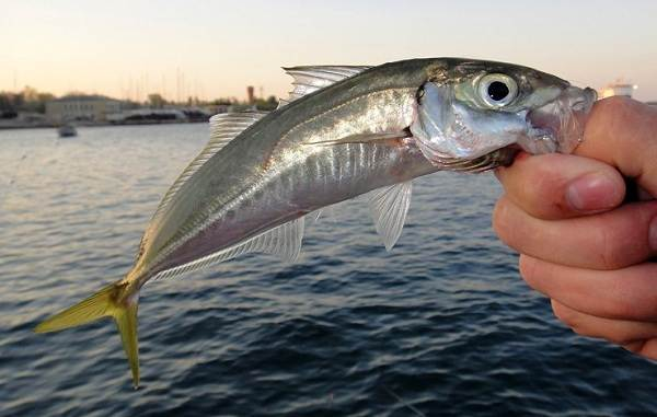 Хищные-рыбы-Названия-описания-и-особенности-хищных-рыб-35