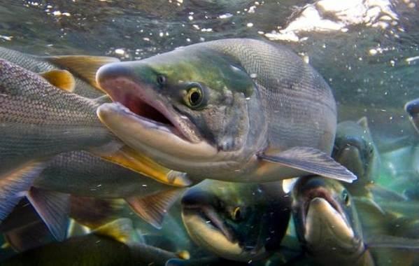 Хищные-рыбы-Названия-описания-и-особенности-хищных-рыб-40