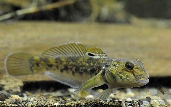 Хищные-рыбы-Названия-описания-и-особенности-хищных-рыб-41