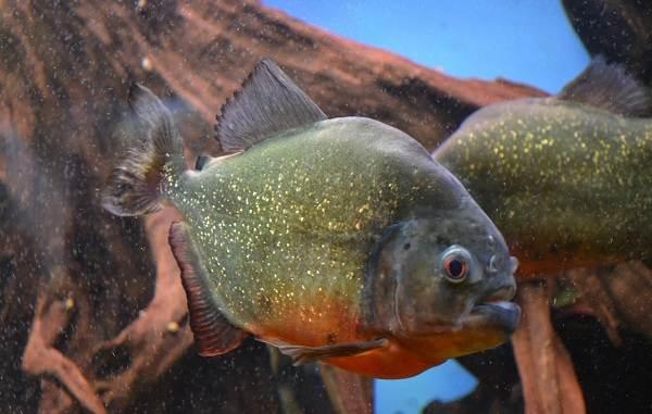 Хищные-рыбы-Названия-описания-и-особенности-хищных-рыб-6
