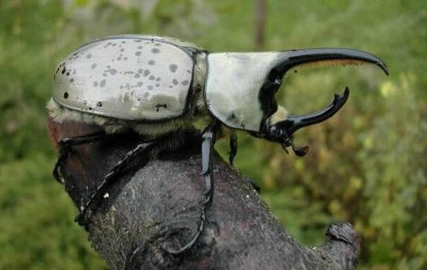 Жук-носорог-Описание-особенности-виды-и-среда-обитания-жука-носорога-11