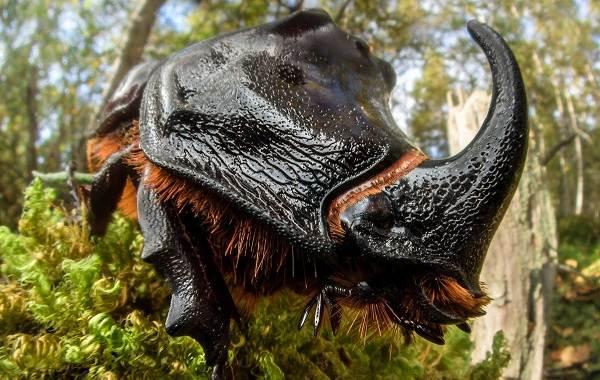Жук-носорог-Описание-особенности-виды-и-среда-обитания-жука-носорога-2
