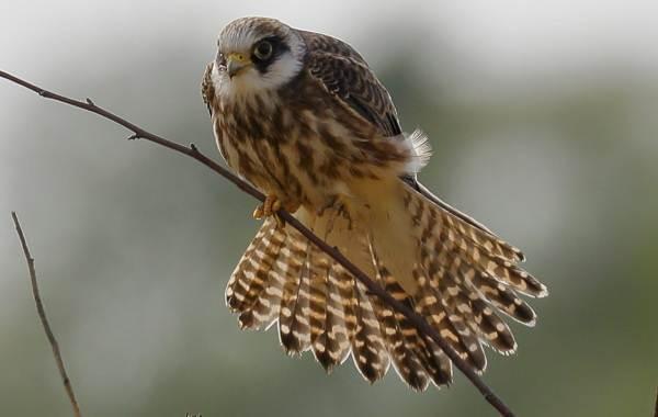 Кобчик-птица-Описание-особенности-и-среда-обитания-птицы-кобчика-1