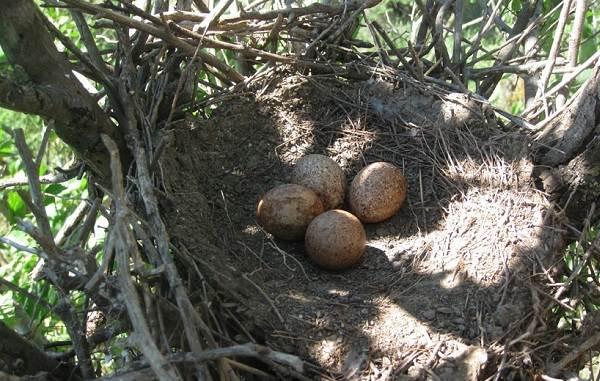Кобчик-птица-Описание-особенности-и-среда-обитания-птицы-кобчика-10