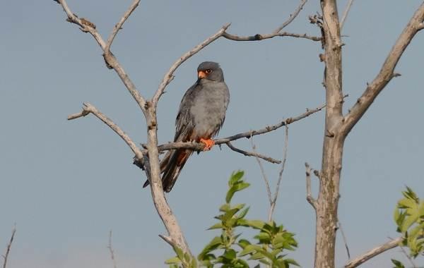 Кобчик-птица-Описание-особенности-и-среда-обитания-птицы-кобчика-11