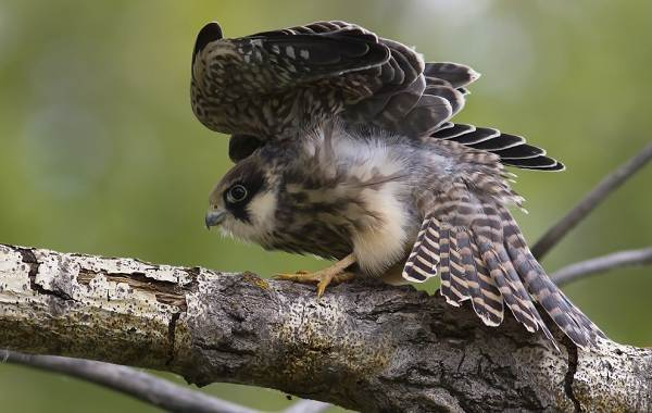 Кобчик-птица-Описание-особенности-и-среда-обитания-птицы-кобчика-12