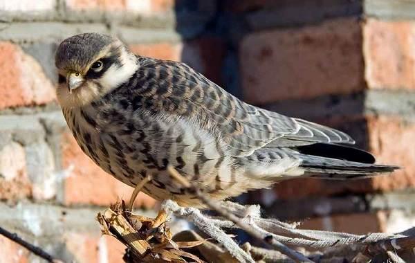 Кобчик-птица-Описание-особенности-и-среда-обитания-птицы-кобчика-13