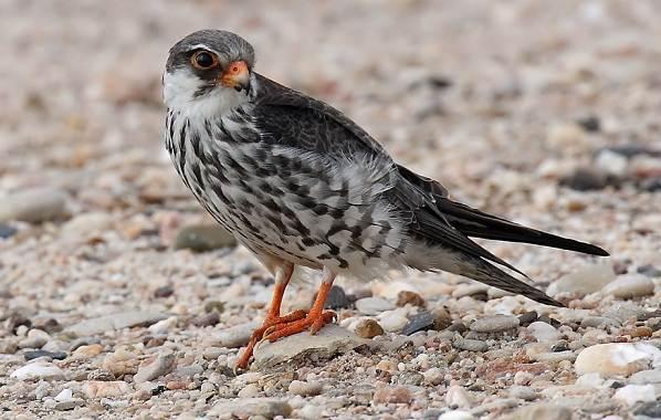 Кобчик-птица-Описание-особенности-и-среда-обитания-птицы-кобчика-15