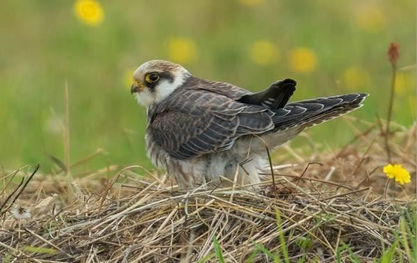 Кобчик-птица-Описание-особенности-и-среда-обитания-птицы-кобчика-2