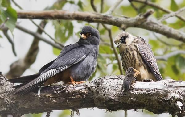 Кобчик-птица-Описание-особенности-и-среда-обитания-птицы-кобчика-3
