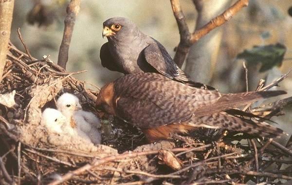 Кобчик-птица-Описание-особенности-и-среда-обитания-птицы-кобчика-4