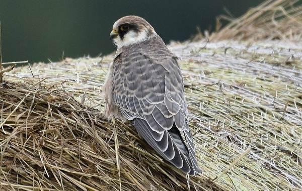 Кобчик-птица-Описание-особенности-и-среда-обитания-птицы-кобчика-5