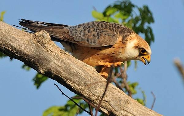 Кобчик-птица-Описание-особенности-и-среда-обитания-птицы-кобчика-7