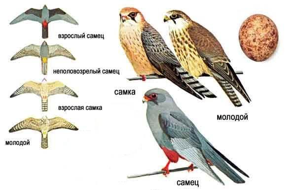 Кобчик-птица-Описание-особенности-и-среда-обитания-птицы-кобчика-8