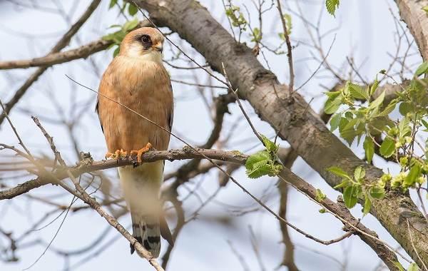 Кобчик-птица-Описание-особенности-и-среда-обитания-птицы-кобчика-9