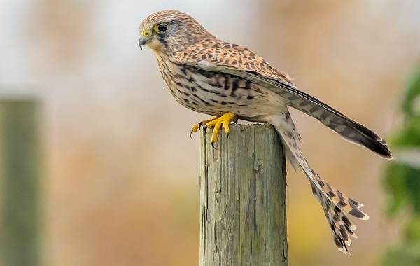 Пустельга-птица-Описание-особенности-виды-и-среда-обитания-пустельги-1