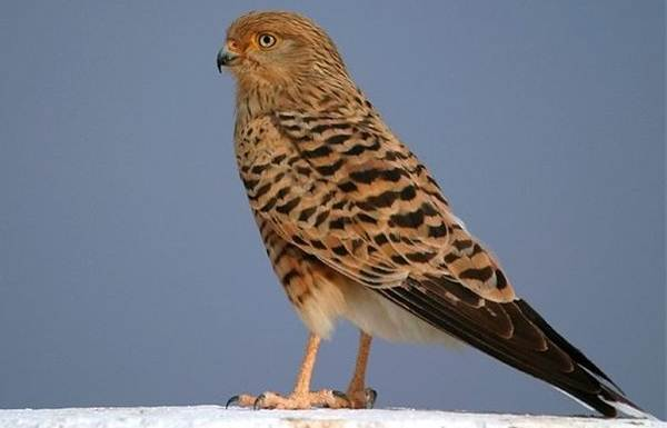 Пустельга-птица-Описание-особенности-виды-и-среда-обитания-пустельги-10