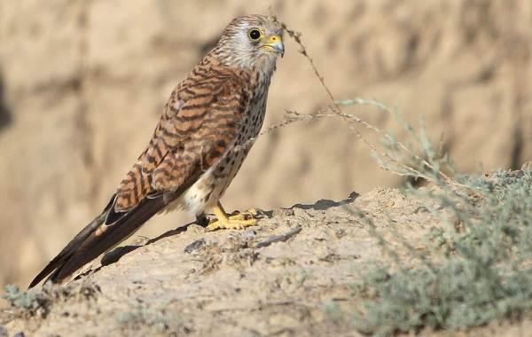 Пустельга-птица-Описание-особенности-виды-и-среда-обитания-пустельги-11