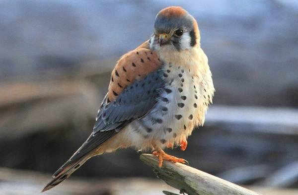 Пустельга-птица-Описание-особенности-виды-и-среда-обитания-пустельги-12