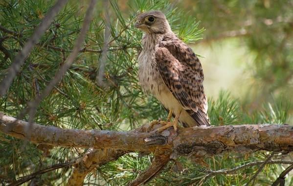 Пустельга-птица-Описание-особенности-виды-и-среда-обитания-пустельги-13