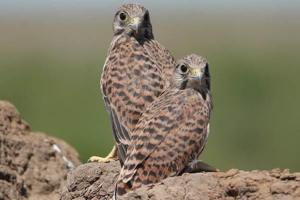 Пустельга-птица-Описание-особенности-виды-и-среда-обитания-пустельги-14