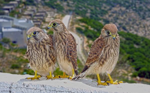 Пустельга-птица-Описание-особенности-виды-и-среда-обитания-пустельги-16