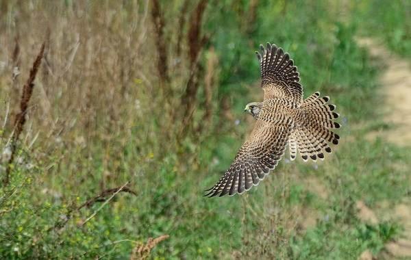 Пустельга-птица-Описание-особенности-виды-и-среда-обитания-пустельги-17