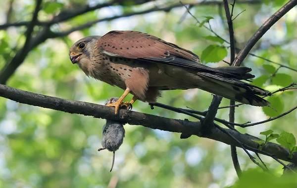 Пустельга-птица-Описание-особенности-виды-и-среда-обитания-пустельги-18