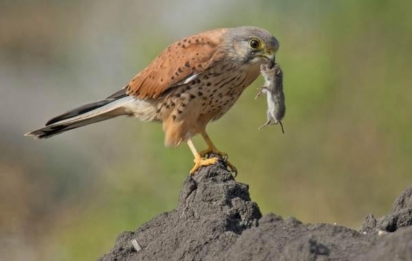 Пустельга-птица-Описание-особенности-виды-и-среда-обитания-пустельги-19