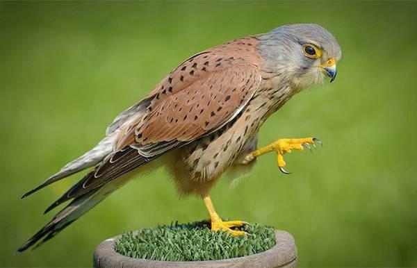 Пустельга-птица-Описание-особенности-виды-и-среда-обитания-пустельги-2